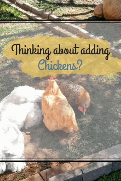 adding chickens