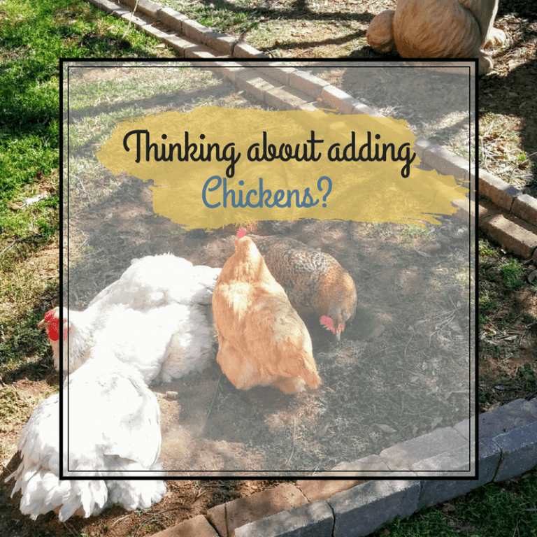 Thinking about adding Chickens?