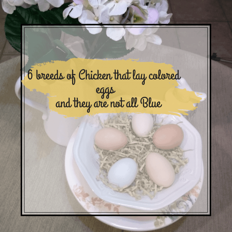 6 Breeds of Chickens that Lay Colored Eggs, and they are not all Blue